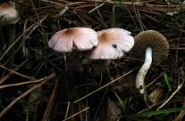 Inocybe geophilla (var)